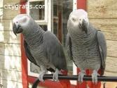 African Grey Parrots birds looking forev