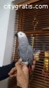 African Grey Parrots ready forever home