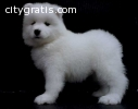 AKC Female and Male Samoyed puppies