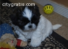 AKC Female and Male Shih Tzu puppies