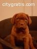akc french mastiff puppies