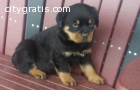 AKC Male and Female Rottweiler puppies