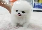 AKC REG Pomeranian puppies For Christmas