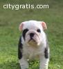 Akc registered english Bulldog puppies f
