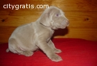 AKC  Weimaraner Puppies for Sale