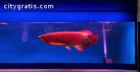 Arowana,Arowana fish for sale