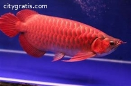 Arowana fishes of different kinds