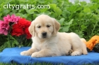 Awesome Golden Retriever puppies ready
