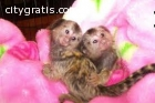 Baby Pygmy Marmoset Monkeys available