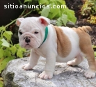 Beautiful Akc English Bulldog puppies fo