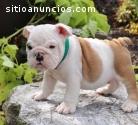 Beautiful Akc English Bulldog puppies fo