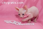 Beautiful And Affectionate Sphynx Girl