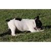 beautiful english bulldog for adoption