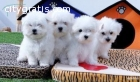 **Beautiful  Maltese puppies**