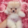 Beautiful Pomeranian puppies available f