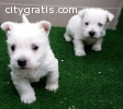 beautiful puppies for adoption