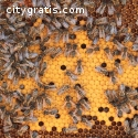 Bee Removal in Texas   Budget Bee Contro
