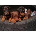 Black & Rust, Fawn & Rust Doberman pin