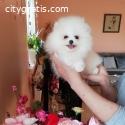 Boo Pomeranian cute