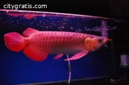 Buy 24k Gold Arowana Fishes