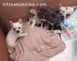 Christmas Chihuahua Puppies For Sale