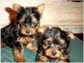 Cute And Adorable Yorkie Puppies Availa