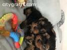 Cute and Adorable Yorkie Puppies Ready