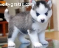 Cute and Charming Siberian husky puppies