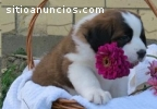 Cute and Lovely Saint Bernard Puppies fo