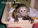 Cute Little Girl Capuchin Monkeys availa