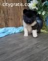 cute little pup akita