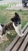 cute male and female border collie puppi