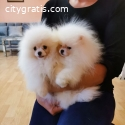 Cute Pomeranian boo
