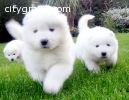 Cute Samoyeds for  Christmas