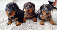 Dachhunds 1 boy and 1 girl for adoption