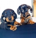 Daschunds 1 boy and 1 girl for adotpion
