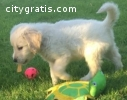 desere golden retriever puppies