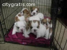 english bulldog puppies text  7086839127