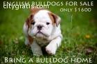 English Bulldogs for sale