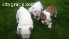 English bulldogs puppies