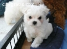 Exceptional AKC Maltese Puppies for ado