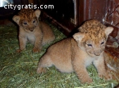 Exotic cats for sale .