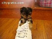 Female Yorkshire Terriers Yorkie puppie