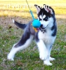 Filigreed AKC Siberian Husky Puppy Now