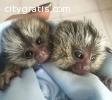 Finger Baby Marmoset Monkeys for adoptio