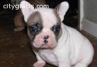 French bulldogs for adoption