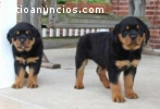 friendly male and female Rottweiler pupp