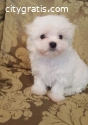 Full Blooded Maltese puppies for Re-homi