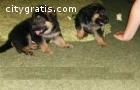 German Shepherd puppies available .