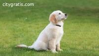 Golden Retriever Puppies for Sale - Cent